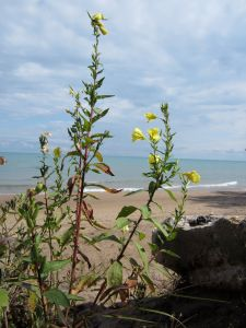 Yellow Beach Flowers